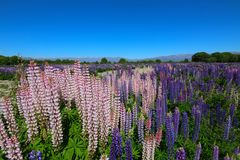 Kleurrijke bloemen Lupinus polyphyllus, Nieuw Zeeland stock foto