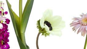 Kleurrijke bloemen, madeliefje die, anemoon, narcissen, lilium, zich op witte achtergrond bewegen stock footage
