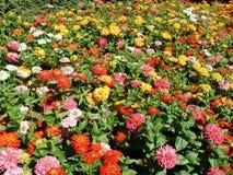 Kleurrijke bloemen in tuin Stock Afbeeldingen