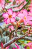 Kleurrijke bloemen van Adenium-obesuminstallatie Royalty-vrije Stock Foto