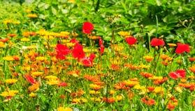 Kleurrijke bloemweide in de zomer Stock Afbeeldingen