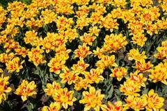 Kleurrijke blossing gele tulpen in openbaar park Royalty-vrije Stock Afbeeldingen