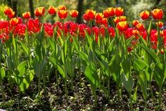 Kleurrijke blossing tulpen in openbaar park Royalty-vrije Stock Afbeelding
