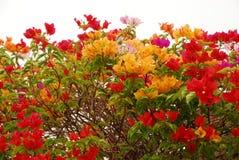 Kleurrijke bougainvillea Royalty-vrije Stock Afbeelding