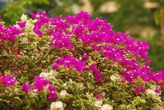 kleurrijke bougainvilleabloemen Stock Foto's