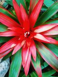 Kleurrijke Bromelia Guzmania Stock Foto