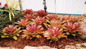 Kleurrijke Bromelia Neoregelia Stock Fotografie