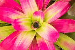 Kleurrijke bromelia's Royalty-vrije Stock Foto's