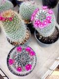 Kleurrijke cactus in een pot Royalty-vrije Stock Afbeelding