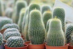 Kleurrijke cactus voor het groeien in potten Royalty-vrije Stock Afbeeldingen