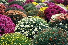 Kleurrijke chrysantenbloem stock afbeeldingen