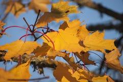 Kleurrijke close-up van bladeren en takken in zonlicht met blauwe hemel in zonnige de herfstdag Royalty-vrije Stock Foto