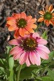 Kleurrijke Coneflowers Royalty-vrije Stock Foto's