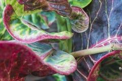 Kleurrijke crotonbladeren Royalty-vrije Stock Afbeelding