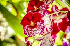 Kleurrijke Cymbidium-bloem stock foto