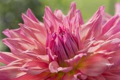 Kleurrijke Dahlia Flower Stock Afbeelding
