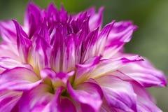 Kleurrijke Dahlia Flower Royalty-vrije Stock Afbeeldingen