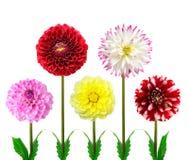 Kleurrijke dahliabloemen royalty-vrije stock foto