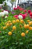 Kleurrijke dahliatuin in de zomer Stock Foto