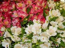 Kleurrijke daylilies Royalty-vrije Stock Afbeelding