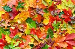 Kleurrijke de herfstbladeren Stock Afbeeldingen