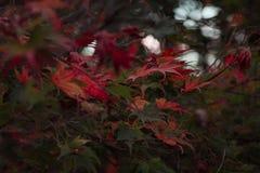 Kleurrijke de herfstbladeren op boom tijdens zonsondergangtijd, Nieuw Zeeland stock foto's