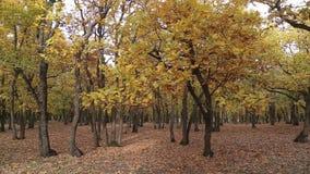 Kleurrijke de herfstbomen in het bos stock videobeelden