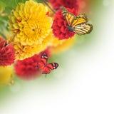 Kleurrijke de herfstchrysanten stock afbeeldingen