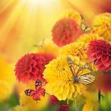 Kleurrijke de herfstchrysanten royalty-vrije stock foto