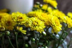 Kleurrijke de herfstchrysanten met gloed, bloemenachtergrond stock foto's