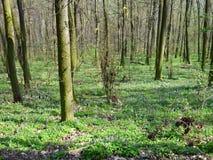 Kleurrijke de lentebloemen in het hout Stock Fotografie