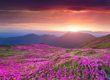 Kleurrijke de zomerzonsopgang in Karpatische bergen Stock Foto's