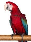 Kleurrijke die ara op de witte achtergrond wordt geïsoleerd Stock Foto