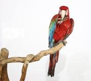 Kleurrijke die papegaai op tak, op wit is geland Stock Afbeeldingen
