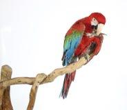 Kleurrijke die papegaai op tak, op wit is geland Stock Foto's