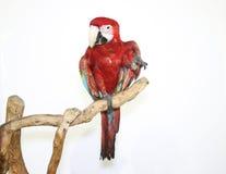 Kleurrijke die papegaai op tak, op wit is geland Stock Afbeelding