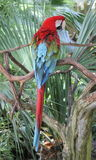 Kleurrijke die papegaai op weelderige folliage van Florida wordt neergestreken stock afbeeldingen