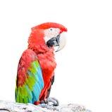 Kleurrijke die papegaai op witte achtergrond wordt geïsoleerd Stock Foto's
