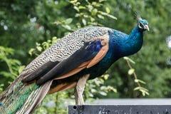 Kleurrijke die pauw in een dierentuin wordt gezien royalty-vrije stock fotografie