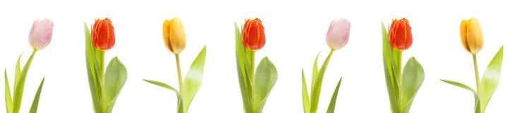 Kleurrijke die tulpen op witte achtergrond worden geïsoleerd stock foto