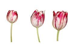 Kleurrijke die Tulpenbloemen op Witte Achtergrond worden geïsoleerd Stock Foto's