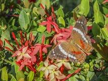 Kleurrijke die vlinder op een rode geraniumbloem wordt neergestreken stock afbeelding