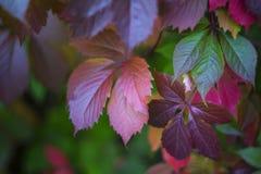 Kleurrijke donkerrode roze groene klimopbladeren royalty-vrije stock foto's