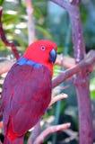 Kleurrijke eclectuspapegaai Stock Foto's