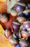 Kleurrijke Eikels die zich verspreiden over te vallen Bladeren stock fotografie