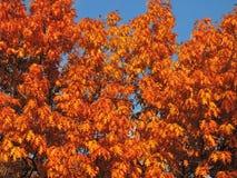 Kleurrijke eiken boom in de herfst, Litouwen Stock Foto's