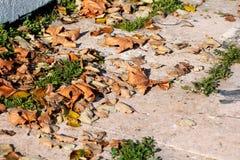 Kleurrijke en bruine de herfstbladeren, textuur, materiaal en achtergrond Verlaat de bladeren van de bomen, sluiten omhoog Stock Afbeelding