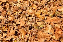 Kleurrijke en bruine de herfstbladeren, textuur, materiaal en achtergrond Verlaat de bladeren van de bomen, sluiten omhoog Royalty-vrije Stock Fotografie