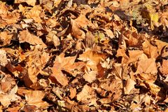 Kleurrijke en bruine de herfstbladeren, textuur, materiaal en achtergrond Verlaat de bladeren van de bomen, sluiten omhoog Stock Foto's