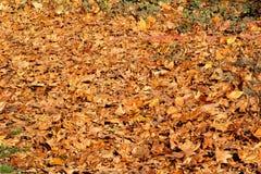 Kleurrijke en bruine de herfstbladeren, textuur, materiaal en achtergrond Verlaat de bladeren van de bomen, sluiten omhoog Royalty-vrije Stock Afbeeldingen